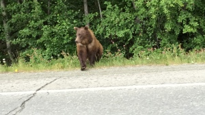 A bear on the road
